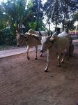 Ox carts, like going back in time