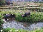 water buffalo :)